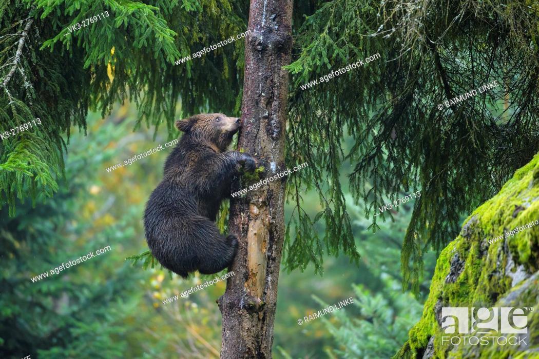 Stock Photo: Brown Bear, Ursus arctos, Cub in tree, Bavaria, Germany.
