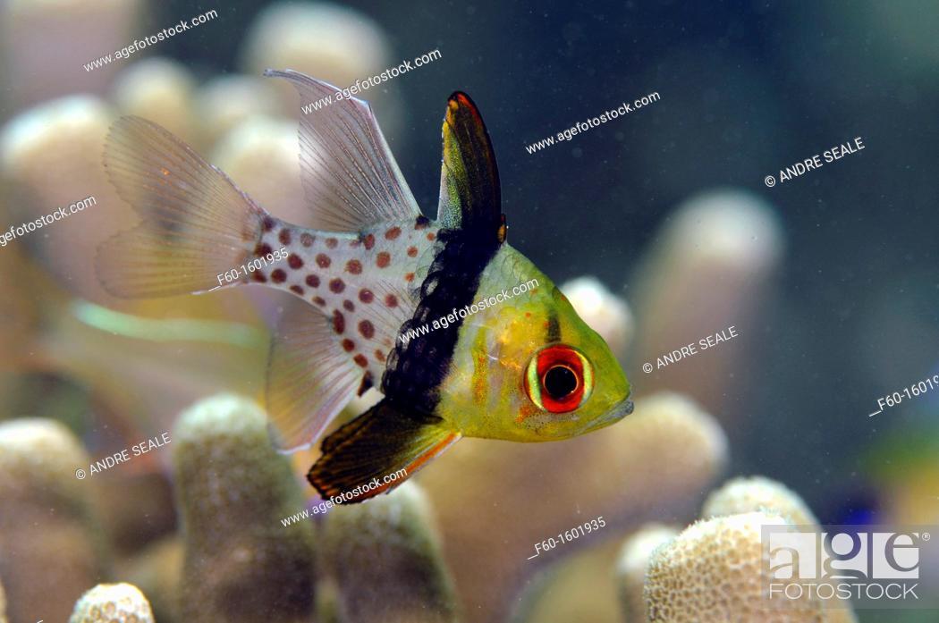 Stock Photo: Pajama cardinalfish, Sphaeramia nematoptera, Pohnpei, Federated States of Micronesia.
