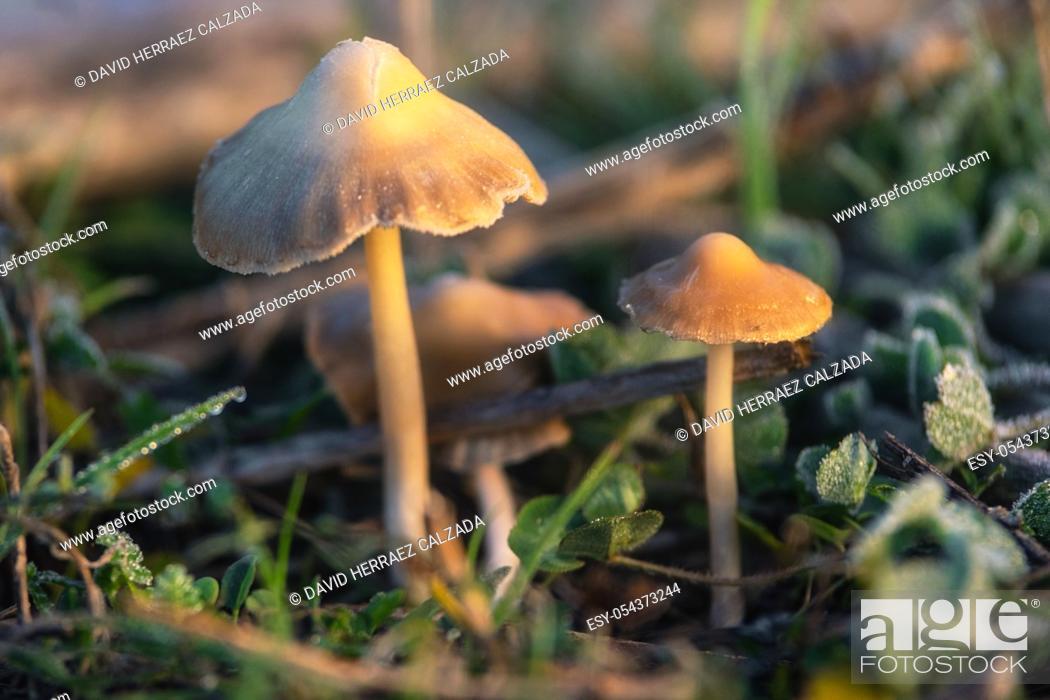 Stock Photo: Hallucinogenic Liberty Cap Mushrooms or Psilocybe semilanceata in the green grass background close up .