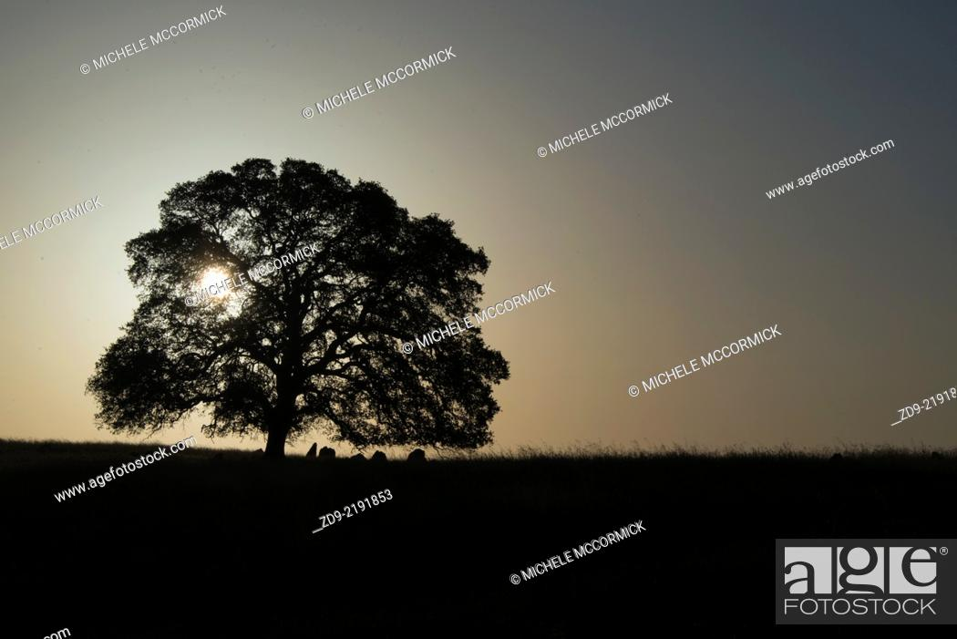 Stock Photo: An oak tree is silhouetted by the rising sun.