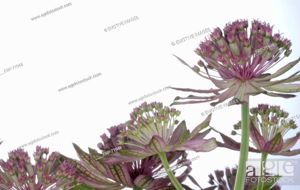 Stock Photo: Allium blooming.