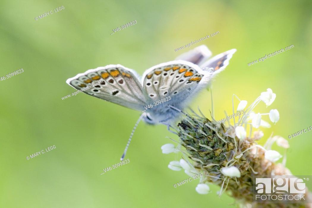 Stock Photo: Brown Argus, Aricia agestis is myrmephilic blue butterfly that lays eggs on Geranium, Helianthemum and Erodium sp. with 2 broods a summer.