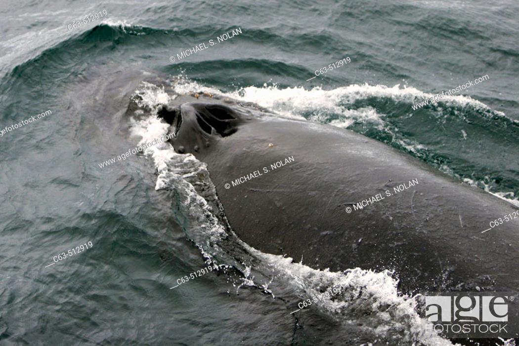 Stock Photo: Adult Humpback Whale (Megaptera novaeangliae) surfacing in Wilhelmina Bay, Antarctica.