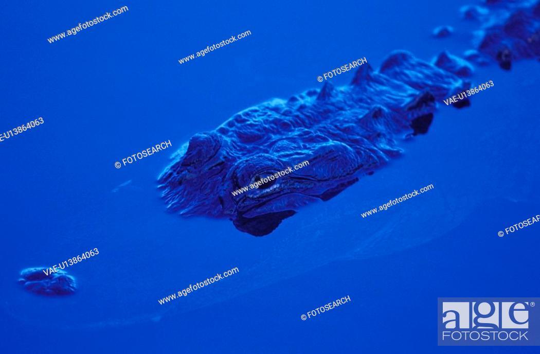 Stock Photo: blue, alligatoridae, animals, america, America, CLOSE, alligator.