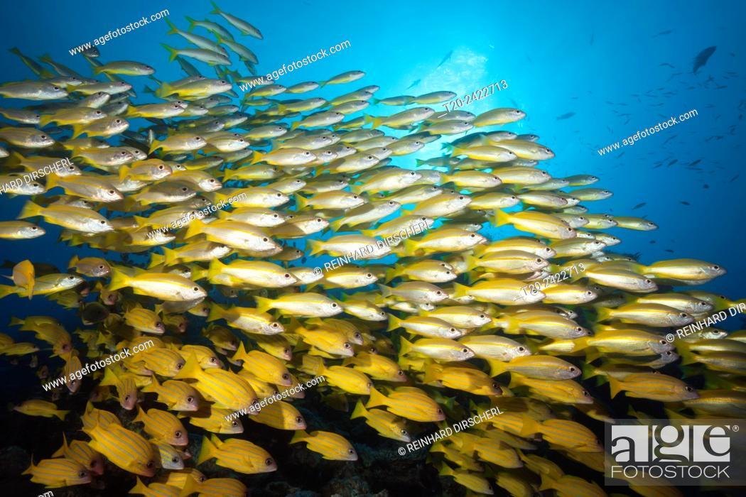 Imagen: Shoal of Bigeye Snapper and Fivelined Snapper, Lutjanus lutjanus, Great Barrier Reef, Australia.