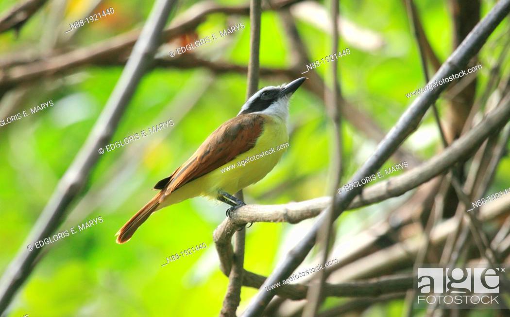 Stock Photo: Pitangus sulphuratus, Venezuela.