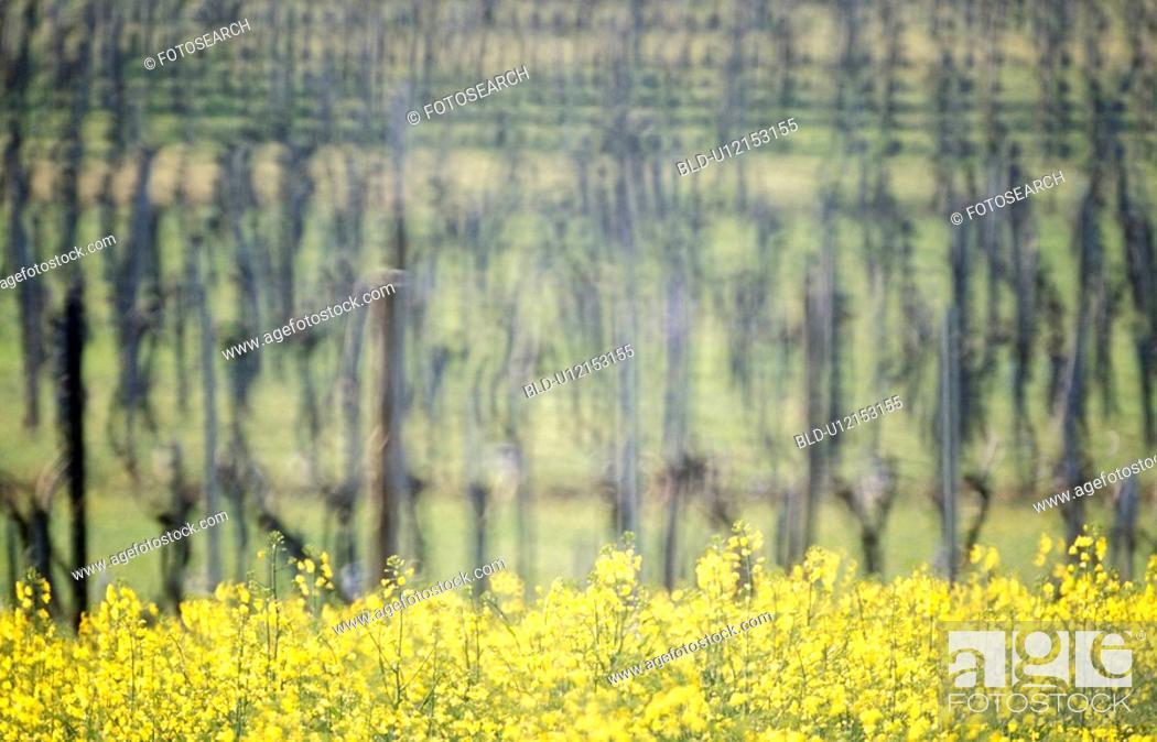 Stock Photo: weinviertel, agriculture, austria, calf, canola field, grapevine, Lower Austria.