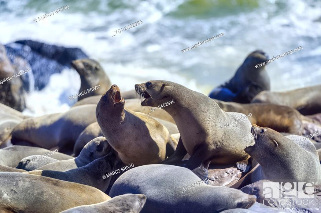Stock Photo: Namibia, Africa. Seals on the beach at Cape Cross, Skeleton Coast.
