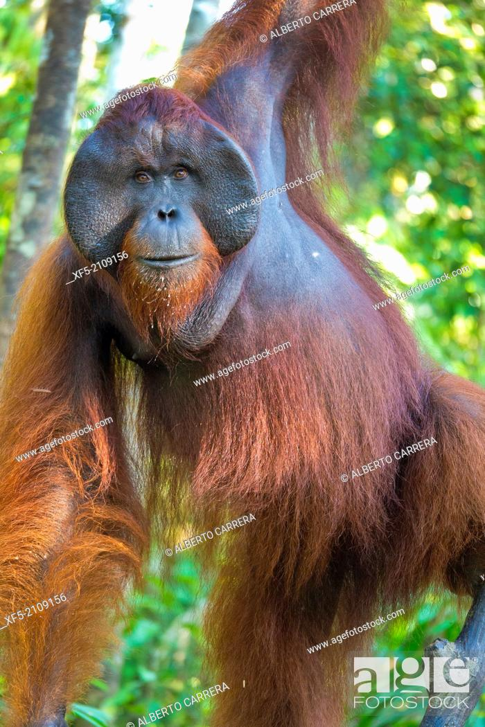 Stock Photo: Orangutan, Pongo pygmaeus, Sekonyer River, Tanjung Puting National Park, Kalimantan, Borneo, Indonesia.