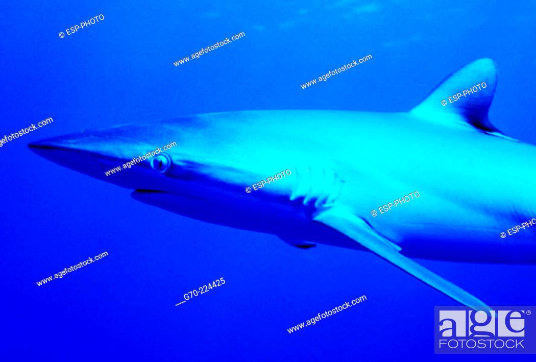 Stock Photo: Silky Shark (Carcharhinus falciformis). Cuba, Caribbean.