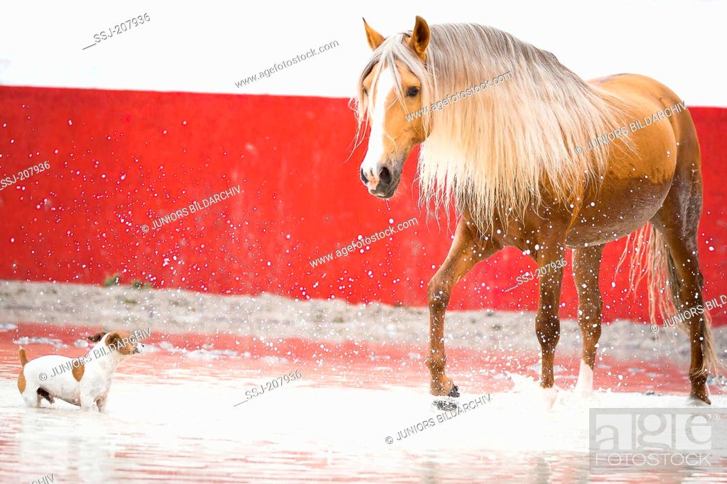 Stock Photo: Lusitano stallion and Jack Russell Terrier playing in a flooded bullfighting arena. Portugal.