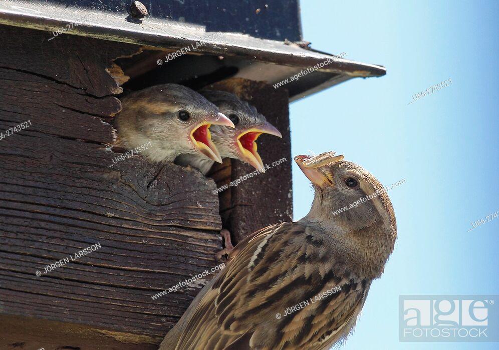 Stock Photo: House sparrow, Passer domesticus, Sweden.
