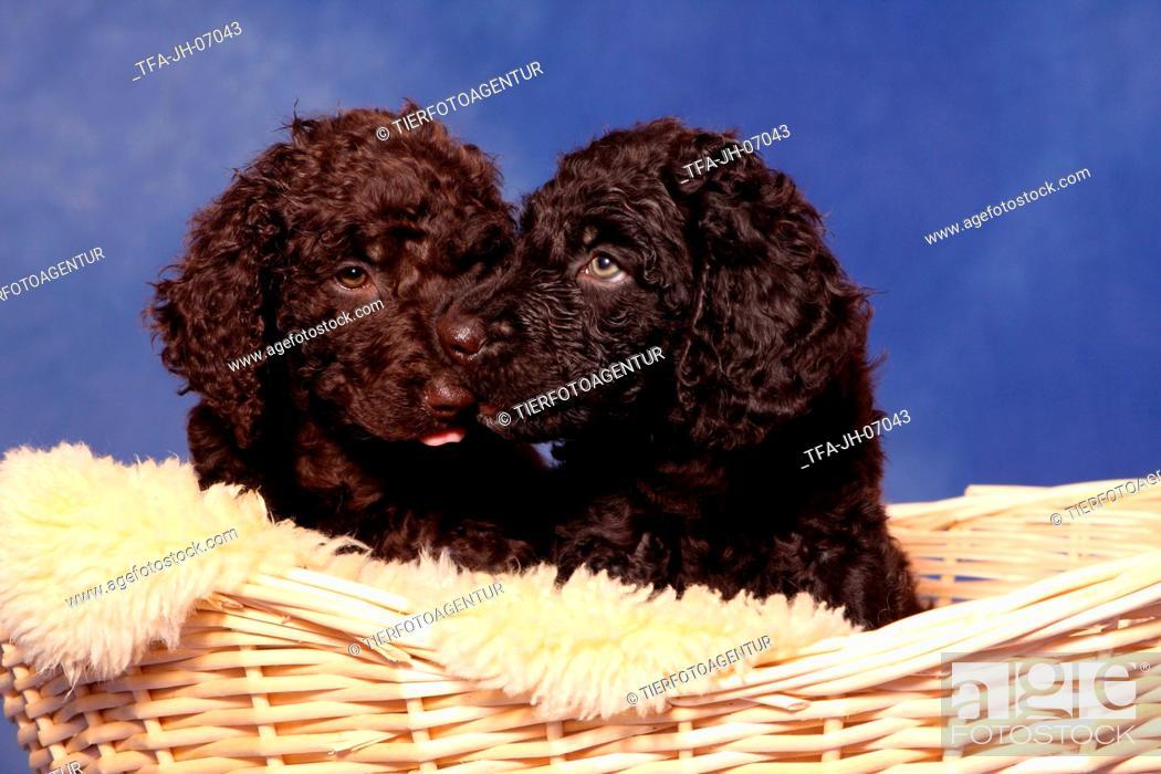 Stock Photo: irish water spaniel puppy.