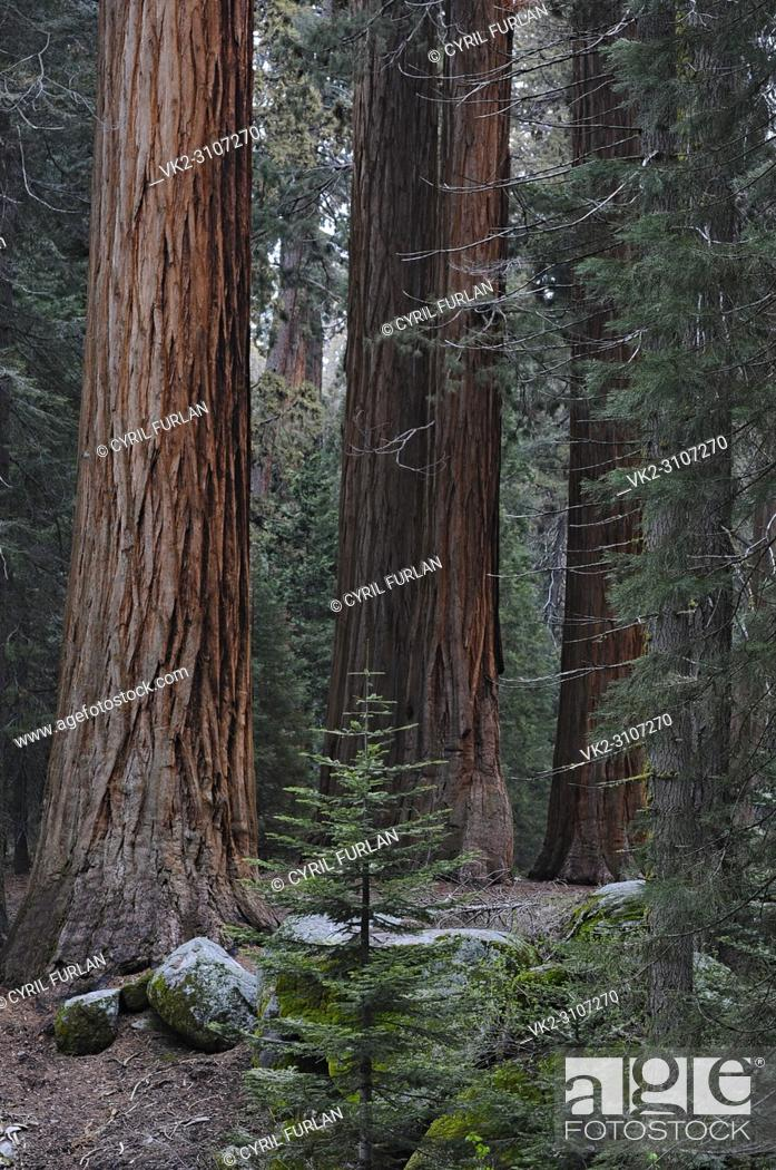 Stock Photo: Grove of Young Sequoia Trees , Sequoia National Park.