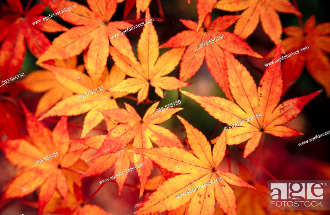 Stock Photo: A view of autumn leaves at Eikando temple, one of Kyoto's best fall viewing places. Kyoto city. Kyoto. Japan.