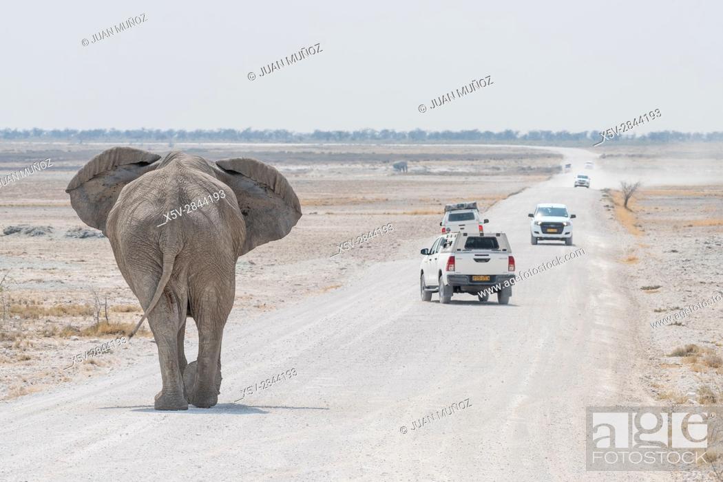Stock Photo: African savannah elephant (Loxodonta africana). Etosha National Park. Namibia. Africa.