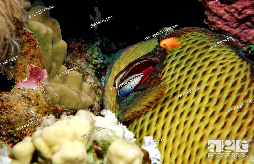Stock Photo: Moustache trifferfish and cleaner wrasse (Balistoides viridescens, Labroides dimidiatus), Egypt, Red Sea.