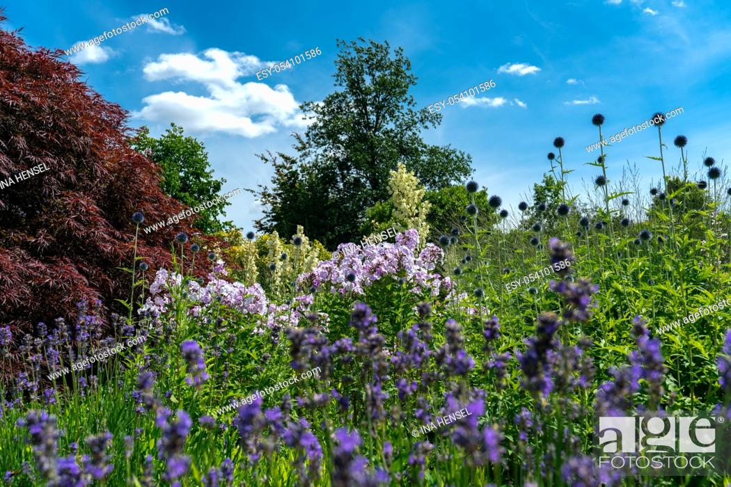 Stock Photo: Yucca filamentosa in full bloom in a colourful summer flower bed accompanied by thistles, phloxes and lavender.