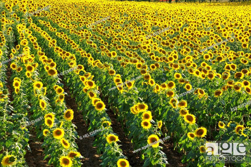 Stock Photo: sun flower field in Dordogne in France.