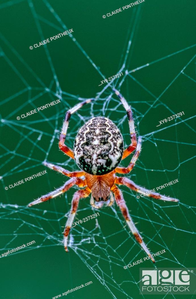 Stock Photo: Orb Weaver spider, Araneus marmoreus, on its web, Quebec, Canada.