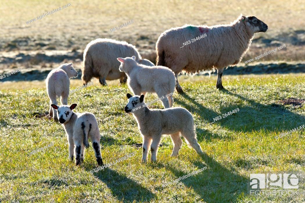 Stock Photo: Ewes and lambs on a frosty springtime morning on the Mynydd Epynt range, Powys, Wales, UK.