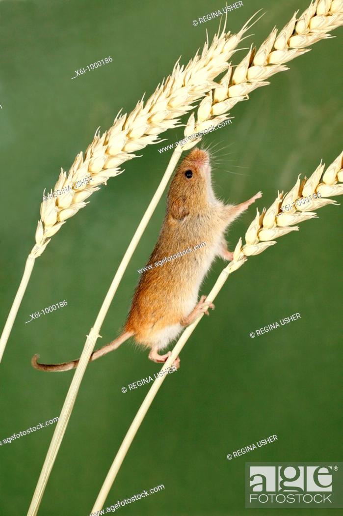Stock Photo: Harvest Mouse Micromys minutus, climbing using prehensile tail, between wheat stalks.
