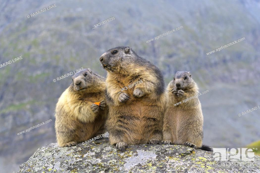 Stock Photo: Alpine Marmot, Marmota marmota, two adult with young, Hohe Tauern National park, Austria.