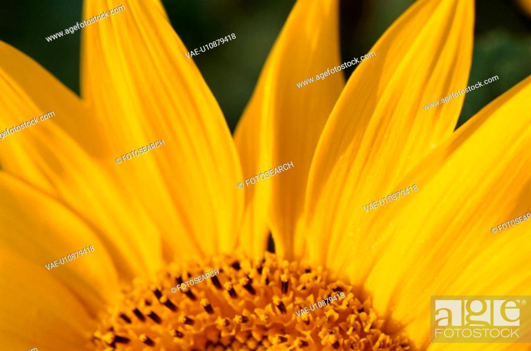 Stock Photo: Petals Of Sunflower.