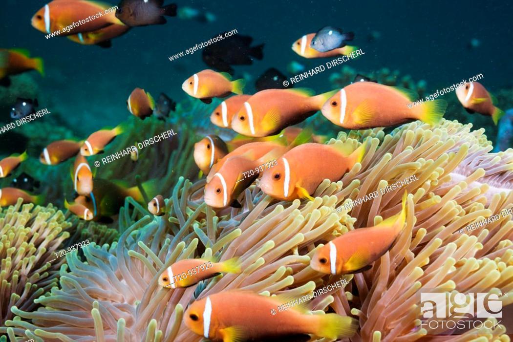 Stock Photo: Maldives Anemonefish in Magnificent Anemone, Amphiprion nigripes, Heteractis magnifica, North Ari Atoll, Maldives.