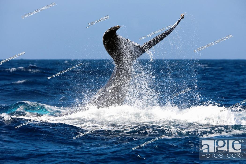 Stock Photo: Tail Fin of Humpback Whale, Megaptera novaeangliae, Samana Peninsula, Dominican Republic.