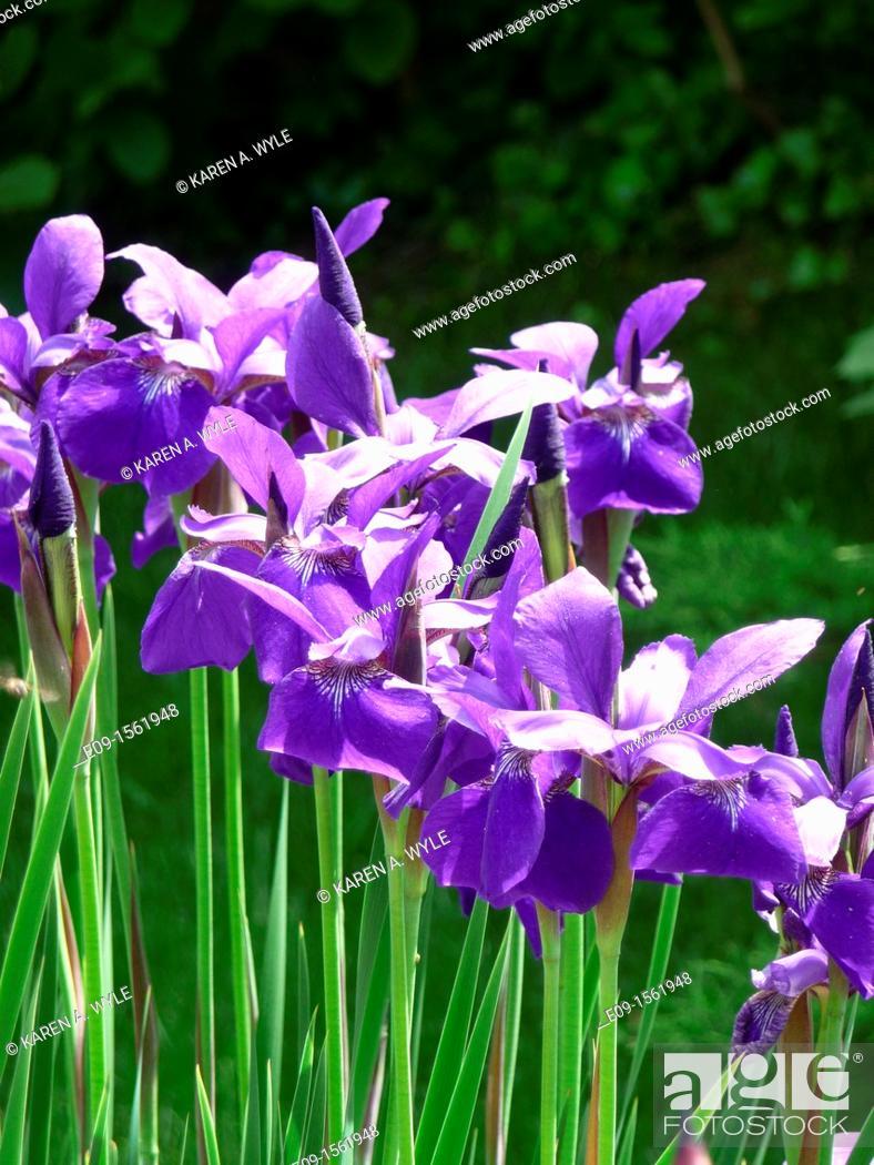 Stock Photo: line of sunlit purple irises, dark green foliage behind.