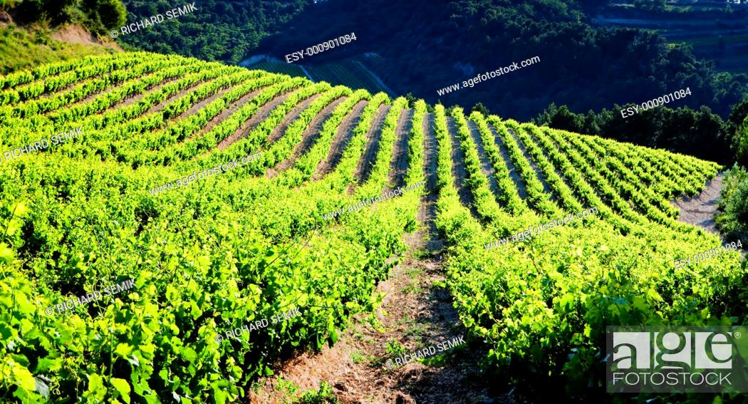 Stock Photo: vineyards near Gigondas, Provence, France.