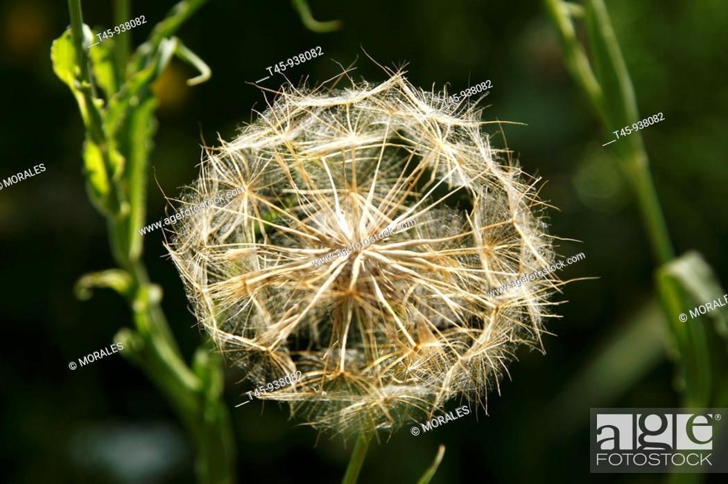 Stock Photo: Wild flower, Salsify (Tragopogon sp.), Vaucluse, France.