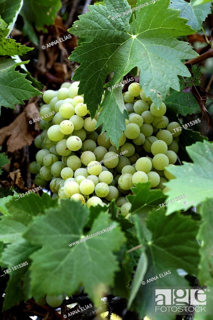 Stock Photo: detail of grapevine Vitis vinifera Vidueño with mature fruit and leaves, white grape.
