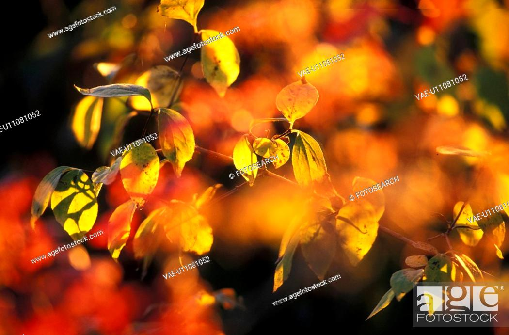 Stock Photo: colored, autumn, calf, bright, beaming, farbkleckse, austria.