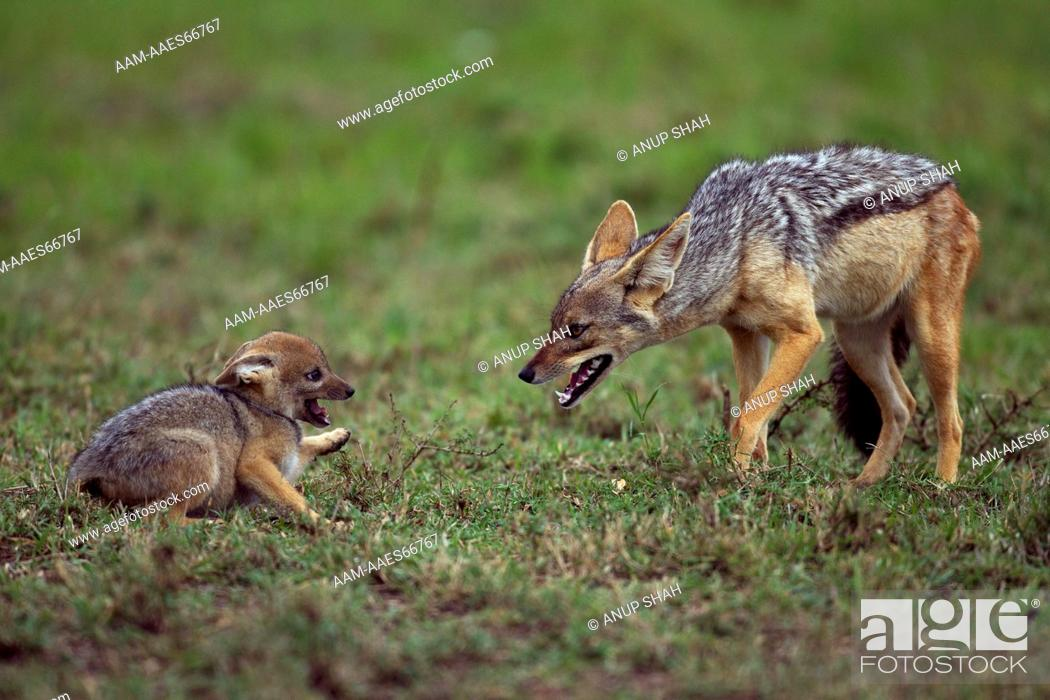 Photo de stock: Black-backed jackal with playful pup aged 5 weeks (Canis mesomelas). Maasai Mara National Reserve, Kenya. Aug 2011.