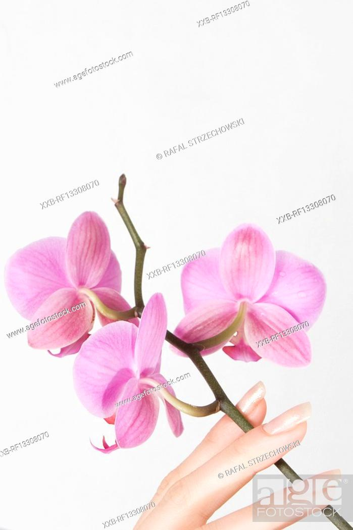 Stock Photo: close-up of hand with pink orchid.