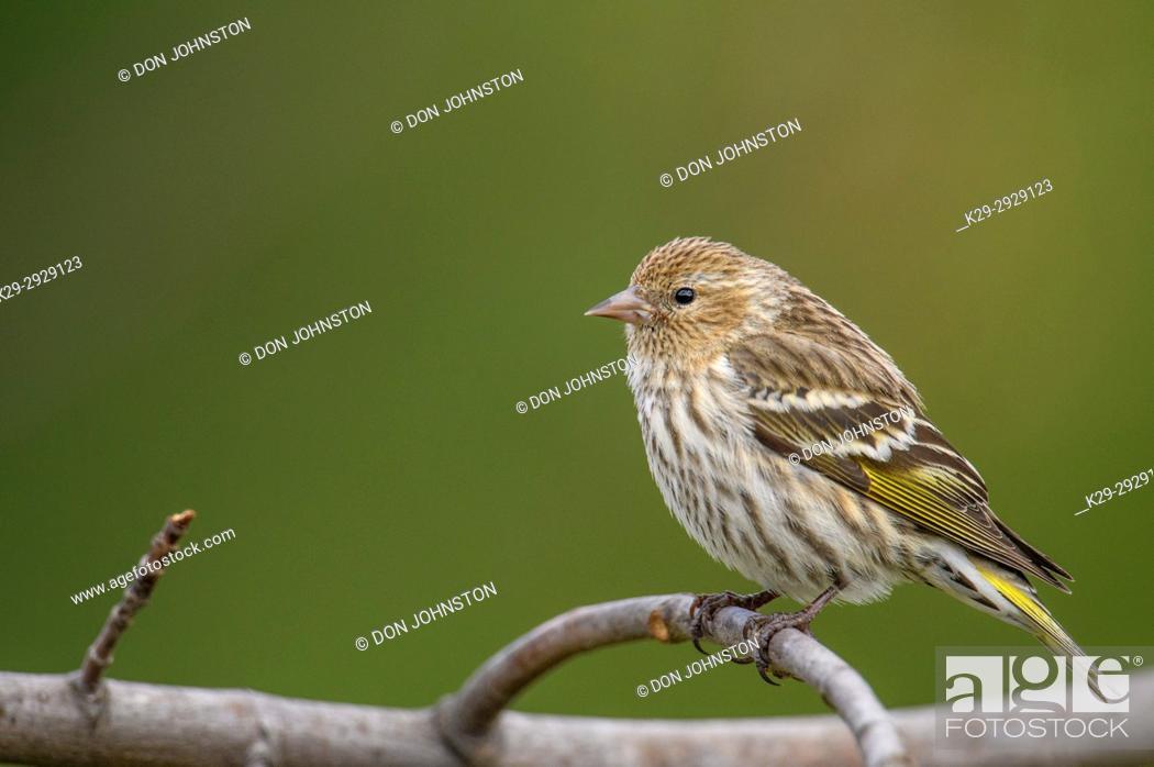 Stock Photo: Pine siskin (Carduelis pinus), Greater Sudbury, Ontario, Canada.