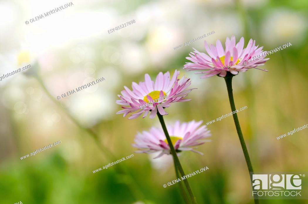 Stock Photo: Bellis flowers on green background.