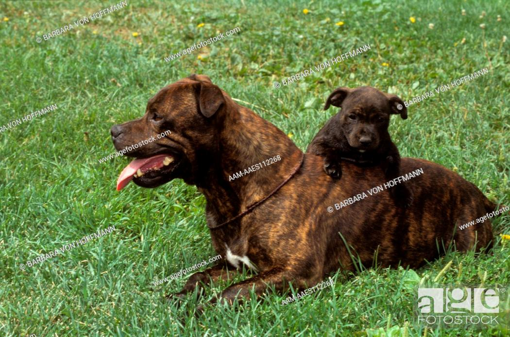 Stock Photo: Pit Bull with Puppy aka American Staffordshire Bull Terrier, Colorado Springs.