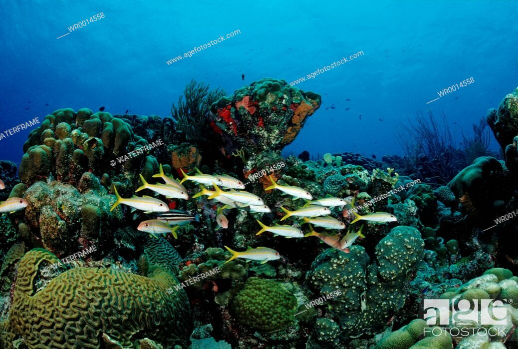 Imagen: Schooling Yellowtail Snapper, Ocyurus chrysurus, Caribbean Sea, British Virgin Islands.