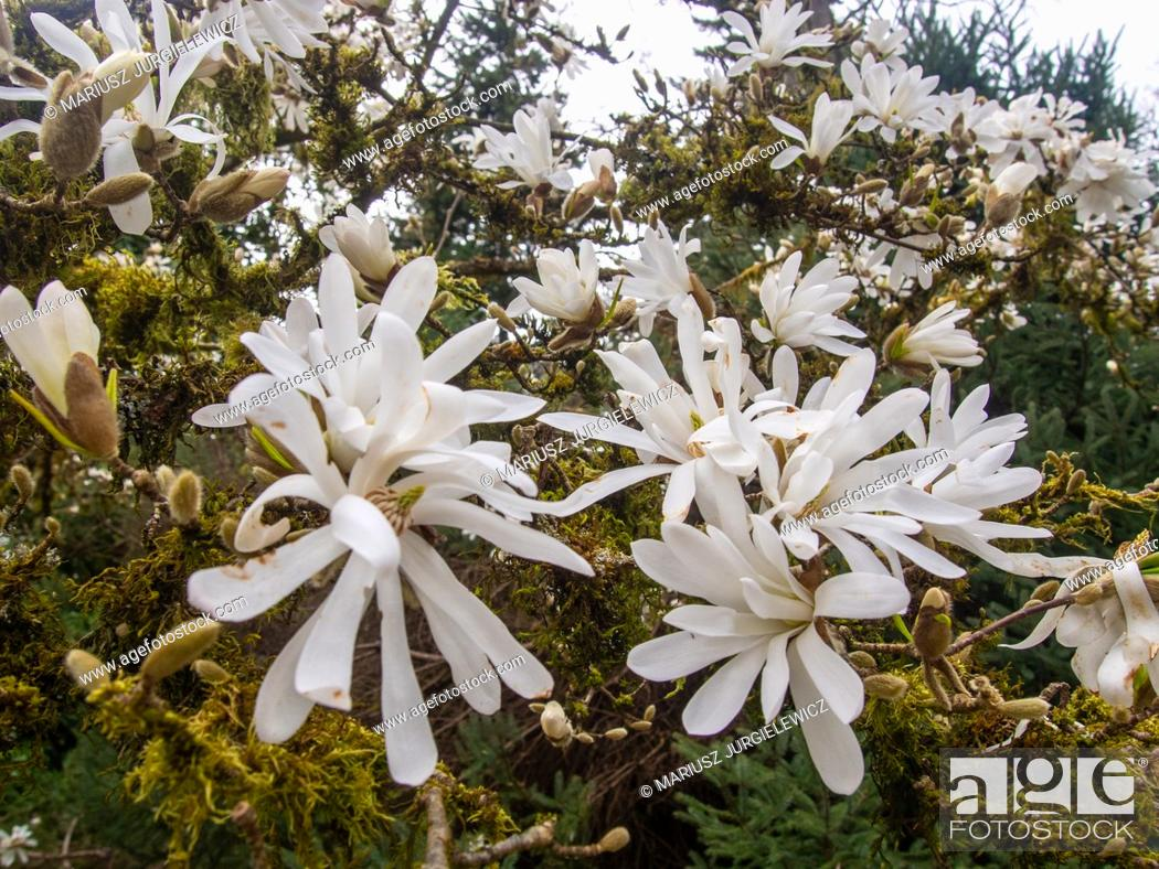 Photo de stock: Star magnolia (Magnolia stellata) is a slow-growing shrub or small tree native to Japan. It bears large, showy white or pink flowers in early spring.
