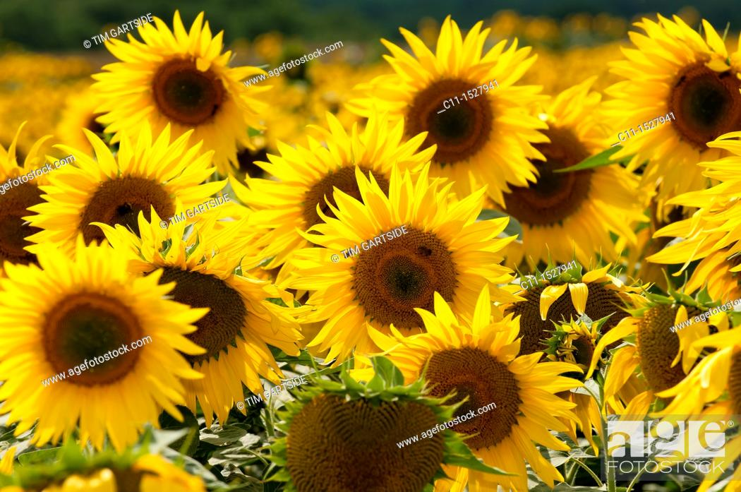 Stock Photo: Sunflower field, East Sussex, England, UK, Europe.