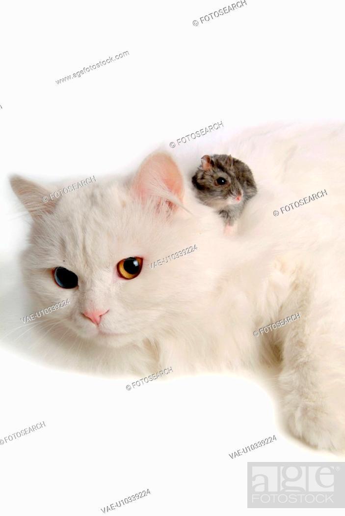 Stock Photo: domestic, hamster, feline, rodent, turkish angora, bluesapphire.