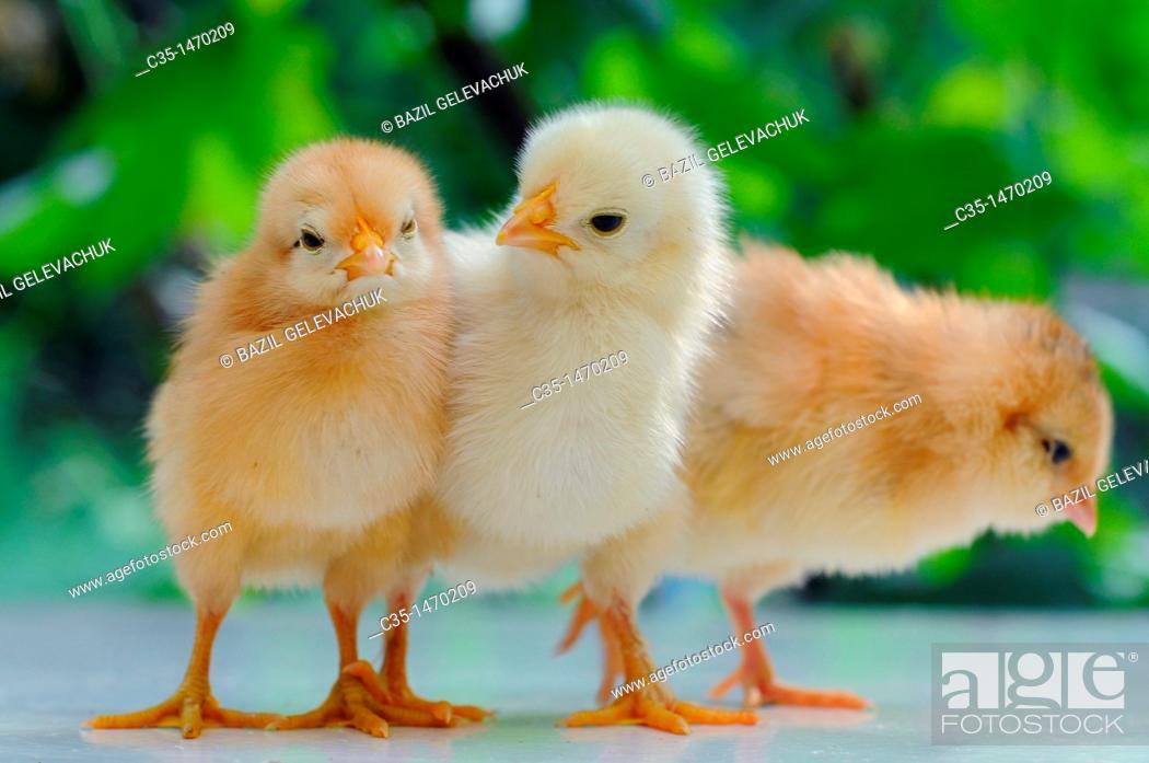 Stock Photo: chicken.