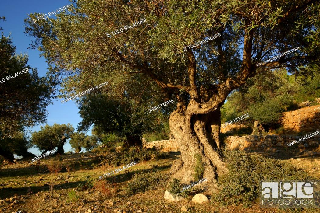 Stock Photo: Es Cap des Vent Olives Deia Mallorca Balearic Islands Spain.