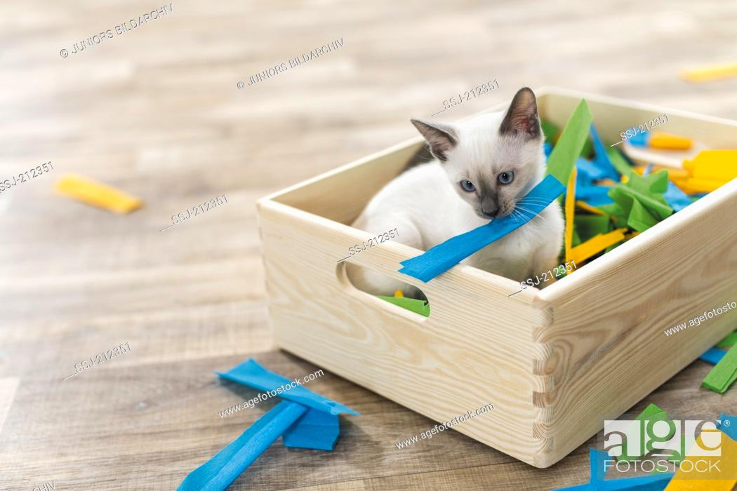 Stock Photo: Siamese Cat. Kitten playing in a box filled with paper. Germany. Restriction: Not for guide books for pet care until 9/2018.
