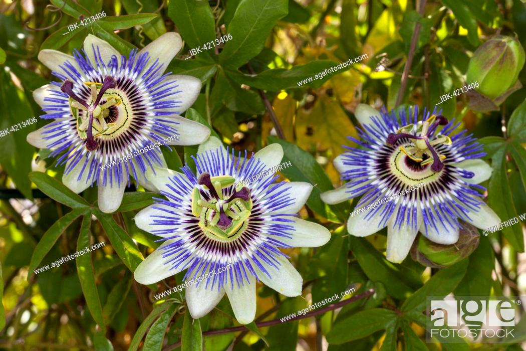 Stock Photo: Flowers of a blue passion flower (Passiflora caerulea).