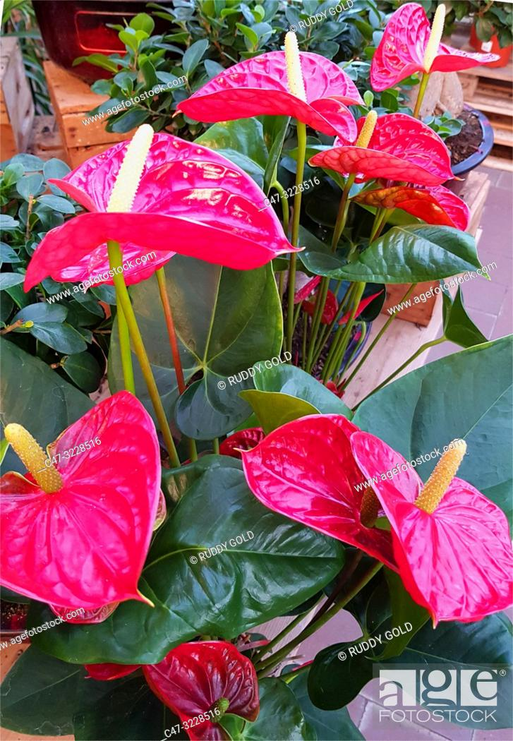 Imagen: anthurium plant and flowers in a Garden center. The anthurium plant is grown as a houseplant in cooler areas and as a landscaping plants. Barcelona.