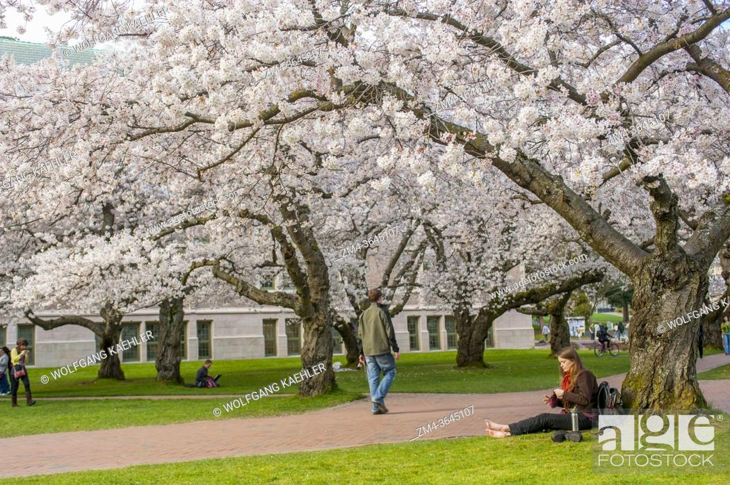 Stock Photo: A student is sitting under the flowering cherry trees in spring time at the Quad of the University of Washington in Seattle, Washington State, USA.